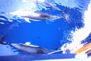 Los delfines, siempre acompañando a los barcos
